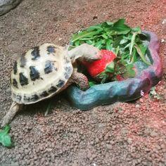 Russian Tortoise Care, Cute Tortoise, Tortoises, Desks, Reptiles, Strawberries, Habitats, Community, Facebook