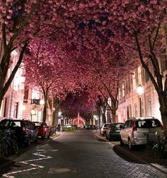 I wish this was my drive way. Love pink cherry blossom trees.