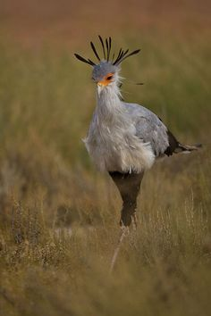 © A Froneman - The secretary bird is the only bird of prey who does more walking than flying, up to 20 miles a day. With very large, broad wings, secretary birds are also strong fliers and use thermal air currents to rise and soar. When hunting, they stamp on the ground to flush out small animals, then run in a zigzag pattern, flapping their wings to confuse their prey. Endemic to Africa, it is usually found in the open grasslands and savannah of the sub-Sahara