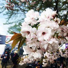 【kurakurakuratan】さんのInstagramをピンしています。 《今年も申し込みの季節がやってきた。 #桜 #ライブ #ロック #ギター #ベース #ドラム #rock #rocknroll #band #guitars #bass #drums #live #livemusic #Cherryblossom #sendai #japan #ARABAKIROCKFEST #pics_jp #art_of_japan #phos_japan #festival #spring #rockfest #japan_of_insta #ig_japan #ig_nihon #ig_nippon #loves_nippon #lovers_nippon》