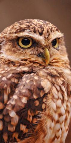 コキンメフクロウ? Little Owl