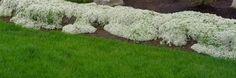 White creeping thyme