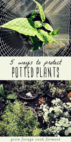 Potted plants need a little more protection from cold weather than plants that are in the ground. Here are five ways to protect potted plants in winter! #gardening #growing