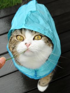 Maru in the rain! I love maru! Crazy Cat Lady, Crazy Cats, I Love Cats, Cool Cats, Reptiles, Cat Hat, Sleepy Cat, Cat Boarding, Here Kitty Kitty