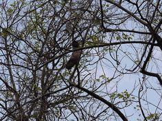 Fabaceae (pea, or legume family) » Entada rheedei    en-TAH-duh -- a Malabar name used by van Rheede for the genus of giant seeds that float across oceans  REED-ee-eye -- named for Hendrik Adriaan van Rheede, Dutch naturalist, governor of Cochin in Indi