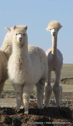 A couple of alpacas! Can you believe that these two girls are the same age!? The only difference is one is sheared and one isn't!