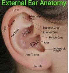 Anatomy Drawing Medical External Ear Anatomy and Function Human Body Anatomy, Human Anatomy And Physiology, Ear Diagram, Surgical Tech, Ear Parts, Medical Anatomy, Medical Mnemonics, Facial, Stress