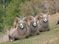 The Three Amigos - Bighorn Sheep in Radium Hot Springs