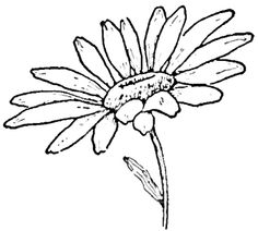 Step finished daisies 02 Drawing the Daisy : How to Draw Daisies with Easy Step by Step Lessons