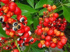 Αποτέλεσμα εικόνας για Γκουαρανά Magnesium, Yerba Mate, Biologique, Matcha, We Heart It, Stuffed Peppers, Vegetables, Food, Brazil