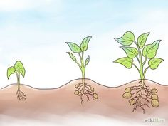 How to Grow Sweet Potatoes. If you're looking to start a garden, sweet potatoes are a relatively low-maintenance plant that offer a bountiful harvest later in season than most other fruits and veggies. Fruit Garden, Edible Garden, Vegetable Garden, Garden Plants, Garden Fun, Potato Gardening, Organic Gardening, Growing Sweet Potatoes, Comment Planter