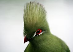 The turacos make up the bird family Musophagidae, which includes plantain-eaters and go-away-birds. In southern Africa both turacos and go-away-birds are commonly known as louries. Source from Wikipedia. Photo from Ric McArthur. Knysna, Exotic Birds, Colorful Birds, Animiertes Gif, Bird Pictures, All Gods Creatures, Cool Pets, Animals Of The World, Bird Feathers
