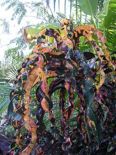 DREADLOCKS Tropical Paradise, Tropical Garden, Tropical Plants, Tropical Flowers, Crotons Plants, Garden Plants, Indoor Plants, Sansevieria Plant, Balcony Planters