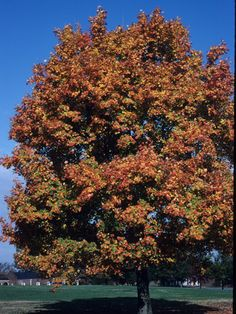 Acer saccharum (Sugar maple) #21132