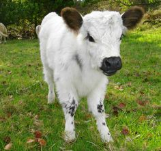 23 Mini Cow Pictures you've never seen before - meowlogy Cute Baby Cow, Baby Cows, Cute Cows, Baby Elephants, Large Animals, Zoo Animals, Cute Baby Animals, Animals And Pets, Barnyard Animals