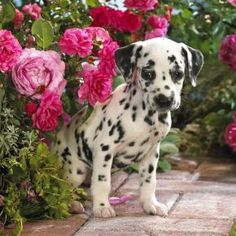 Dalmatian I've always wanted one of these gorgeous guys, they've got such great characters..