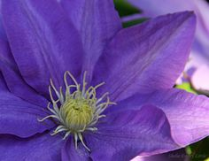 Spring Flowers are blooming on the farm. Clematis