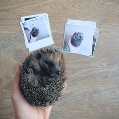 Good morning Guglielmo, you've finally got up!   Vintage and Square Prints as shared by @lammaigal  Create your own on Inkifi - http://inkifi.com/create-prints.html  #prints #hedgehog
