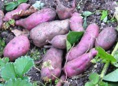 how to grow kumara at home