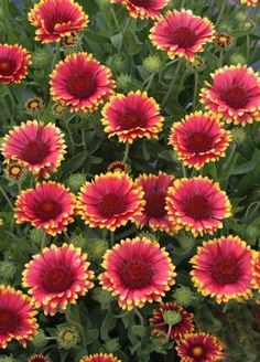 239 best gaillardia images on pinterest garden plants outdoor blanket flower sunset popsy medium plants with rosy mightylinksfo