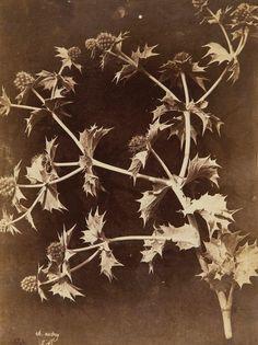 Charles Hippolyte Aubry - Thistles, 1860s