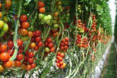 Le Bonheur est dans la Tomate avec les Paysans de Rougeline http://infos-75.com/