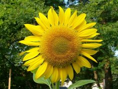 Learn how to plant, grow, and care for sunflowers with this garden guide from The Old Farmer's Almanac.