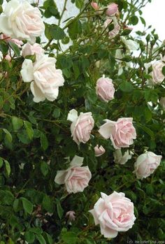 'Madame Alfred Carrière ' Rose. pink blushed white. vigorous. less thorns