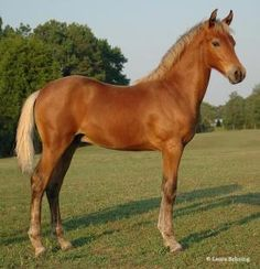 Conner, a beautiful silver bay Morgan horse foal by agnes
