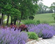 is this russian sage or lavender?