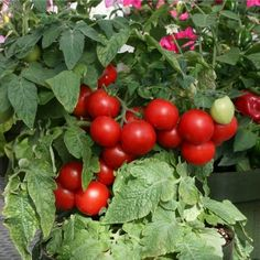 This page gives instructions on how to buy cherry tomato seeds from David's Garden Seeds.