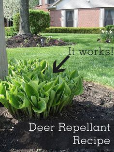 Recipe for deer repellant spray that actually stop deer eating your plants. Completely safe and no toxic