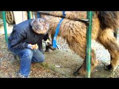Llama Toenail Trimming Demo - YouTube Alpacas, Pet Stuff, Toe Nails, Pedicure, Homesteading, Goats, Camel, Drama, Friends