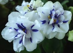 BLUE CONFETTI African violet semi-miniature chimera -- IN BLOOM! NEW FOR 2014! D. Thompson, 2014. Double white chimera with blue side stripes. Leaves medium green, pointed, quilted, hairy, serrated. Semi-miniature.