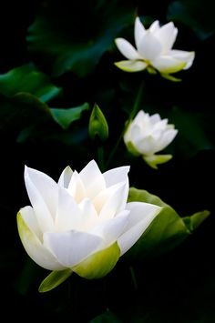 Solid-Faced Canvas Print Wall Art Print entitled White lotus on black background. Exotic Flowers, My Flower, White Flowers, Flower Power, Beautiful Flowers, White Lotus, Aquatic Plants, White Gardens, Dream Garden