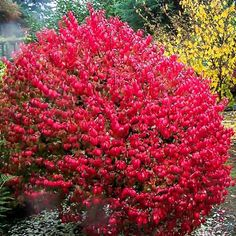 Burning Bush Plant: Grow And Care For Euonymus Alatus Burning Bush Plant, Burning Bush Shrub, Flowering Shrubs, Trees And Shrubs, Landscaping Plants, Front Yard Landscaping, Euonymus Alatus Compactus, Hydrangea Macrophylla, Compact