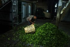 Workers hand-pick tea leaves on the Makaibari Tea Estate in Kurseong, West Bengal, India, on Monday, Sept. 8, 2014.