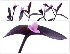 Purple heart, Tradescantia pallida, PURPLE QUEEN / Herbal Medicine / Philippine Alternative Meeicine / StuartXchange