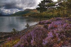 Lomond Heather  //  Rowardennan, Loch Lomond.