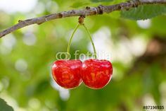 #Two #Cherries @fotolia @fotoliaDE #fotolia #cherry #tree #red #food #fruits #yummy #tasty #delicious #healthy #macro #focus #bokeh #green #leaves #season #summer #stock #photo #portfolio #download #hires #royaltyfree