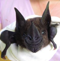 Greater spear-nosed bat (Phyllostomus hastatus)