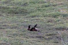 Besucher des Denali Nationalparks in Alaska wurden Zeuge eines höchst amüsanten Schauspiels. Ein Grizzlybär rollt einen Hügel hinunter ...