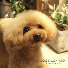 Poodle Haircut, Red Poodles, Dog Haircuts, Pet Grooming, Terrier, Teddy Bear, Dogs, Animals, Haircut Styles