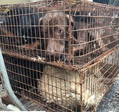 """The Dog Crusader on Twitter: """"This is what eyes hopelessness looks like! thousands of dogs have already been trucked into the #Yulin awaiting their horrific fate of being beaten & killed to be eaten. The 10day long festival is not tradition and was only started in 2009. We as world need to fight against #DCMT… https://t.co/cDqRxWS7Ym"""""""