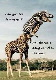 Can you relate to an almost-Friday meme? For everyone who loves waiting for Fridays that much, here are some of our favorite almost-Friday memes. Wednesday Hump Day, Wednesday Humor, Thursday, Almost Friday Meme, Funny Friday, Funny Animal Memes, Funny Animals, Animal Humor, Animal Quotes
