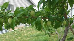 How to thin fruit trees and the information you need to know about thinning fruit trees. You need to use the rule of 6 when thinning your fruit trees for the best fruit results!