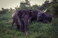Elephants in Sigiriya National Park, Sri Lanka  #srilanka #tuktuk #colombo #traveling #travelsrilanka #ella #kandy #lionsrock #sigiriya #travelphotography