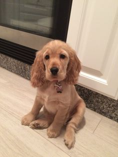 English Cocker Spaniel Pup ~ Classic Look & Trim