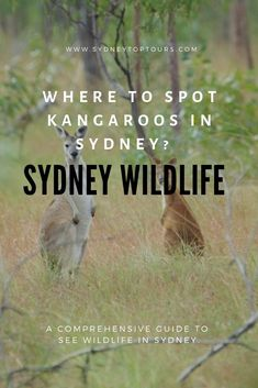 A complete guide to spotting native Australian wildlife near Sydney; Best tours, and sports to see wild kangaroos, koalas, and wombats. Sydney Tourist Attractions, Education In Australia, Native Australians, Kangaroos, Sydney Australia, South Wales, I Can, Things To Do, Wildlife