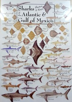 sharks of the atlantic & gulf of mexico (VI Fit Network) (VI Fit Network) lee lange ~ art church. Great informations to known. Gone Fishing, Fishing Tips, Fishing Stuff, Fish Chart, Eagle Ray, Nurse Shark, Kunst Poster, Types Of Fish, Fishing Supplies